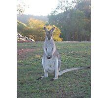 Australian wallaby Photographic Print