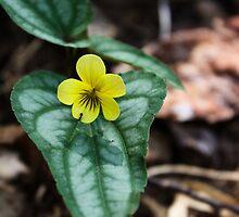 Halberd-Leaved Yellow Violet by Karen Kaleta