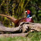Male Pheasant by Carole Stevens