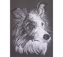 Ajax:   Blue Merle Border Collie Photographic Print