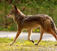Pacific Spirit Coyote by Wolf Read