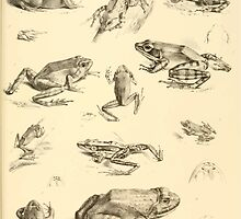 The Reptiles of British India by Albert C L G Gunther 1864 0531 Frogs by wetdryvac