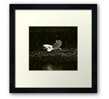 Great White Egret Fly By Framed Print