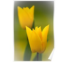 Sunshine Tulips Poster