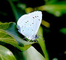 Blue Butterfly by Marilyn O'Loughlin