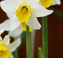 Daffodill Duet by Gemma  Simpson