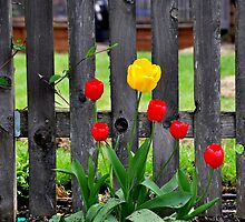 Tulips Adorn Picket Fence by scenebyawoman