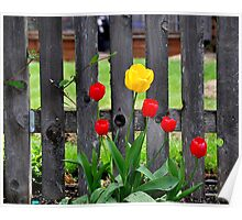 Tulips Adorn Picket Fence Poster
