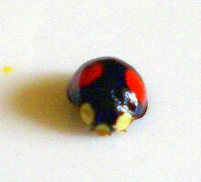Different species of Ladybugs by Songwriter
