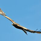 Black Kite by Paulo van Breugel
