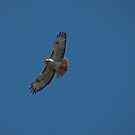 Red -Tailed Hawk by swaby