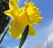 Daffodil by David Shaw