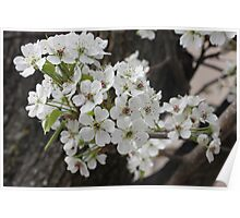 Spring Dogwood Blossoms Poster