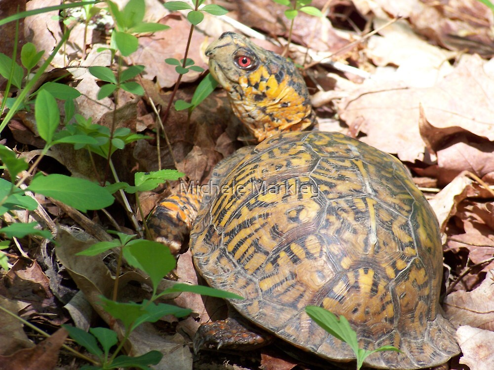 Box Turtle by Michele Markley