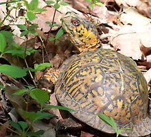 Box Turtle by Michele Markley