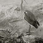 Bird Watching, Common Heron by Martin Gyger