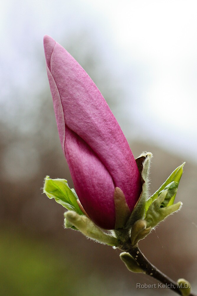 Magnolia tree blossom in South Haven, Michigan by Robert Kelch, M.D.