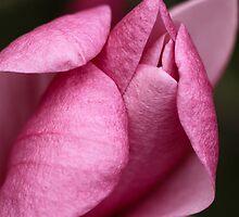 Magnolia tree blossom by Robert Kelch, M.D.