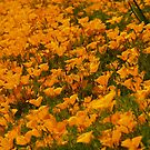 beautiful California poppies by the57man