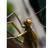 Malayan Walking Stick Stroll Photographic Print