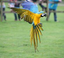 Blue Macaw in flight by Sean Foreman