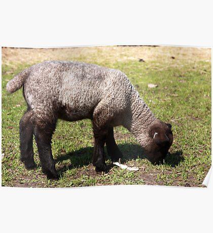 Spring Lamb I Poster