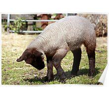 Spring Lamb II Poster