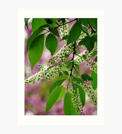 Wild Cherry Tree Blossoms Art Print