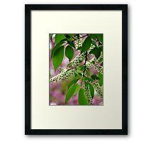 Wild Cherry Tree Blossoms Framed Print