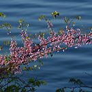 Redbuds Over the River...... by Ruth Lambert