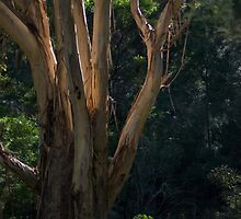 Blue Mountains Ash by garts
