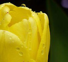 Tulip by NancyR