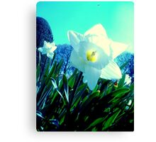 Electric Daffodil - Altamont Gardens Co. Carlow Canvas Print