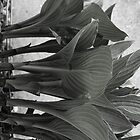 Hosta Plants in B&amp;W by vvfineartphotog