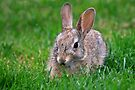 Baby Cottontail by Ann  Van Breemen