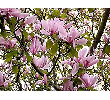 Magnolia (Tulip Tree) Photographic Print