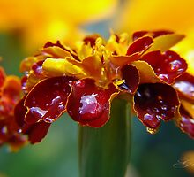 """Glistening Marigold"" by Gail Jones"