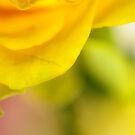 Yellow Rose of Sussex by duncandragon