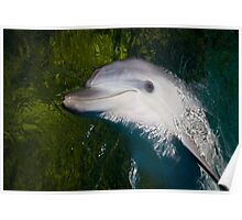 Playful Dolphin Poster