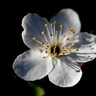Blossom by Ian Sanders