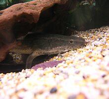 Tropical Fish Polypterus Lapradei by Ashley Etchell