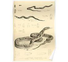 The Reptiles of British India by Albert C L G Gunther 1864 0523 Snakes Poster