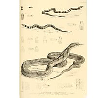 The Reptiles of British India by Albert C L G Gunther 1864 0523 Snakes Photographic Print
