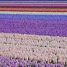 Hyacinth field  by roumen