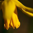 daffodil by codaimages