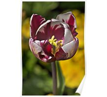 Tulip amongst the yellow blooms Poster