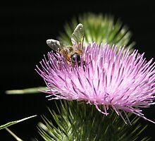 Bee on Thistle Flower,Tumut, Australia. by kaysharp