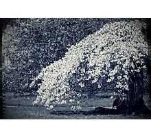 Blossom Dreams Photographic Print
