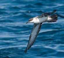Great shearwater (Puffinus gravis) by Grandalf
