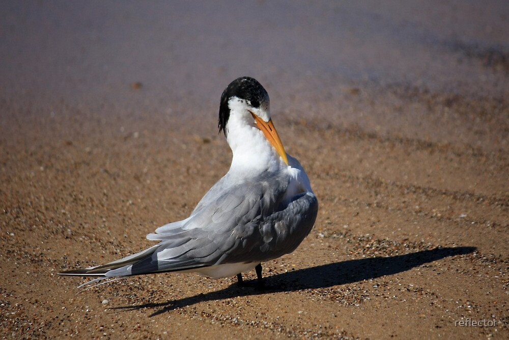 Crested Tern by reflector